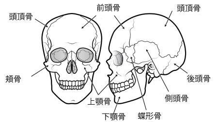 頭蓋骨 名前