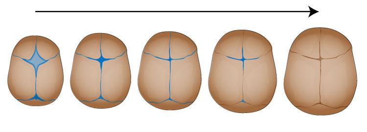 赤ちゃんの頭蓋骨