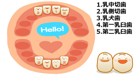 上下の前歯(乳中切歯、乳側切歯)が合計で4本