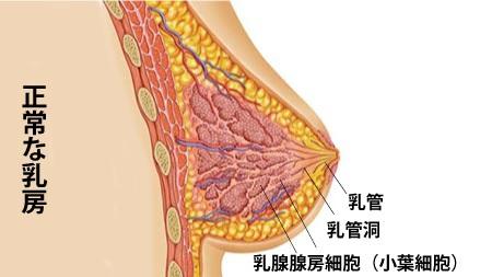 正常な乳房