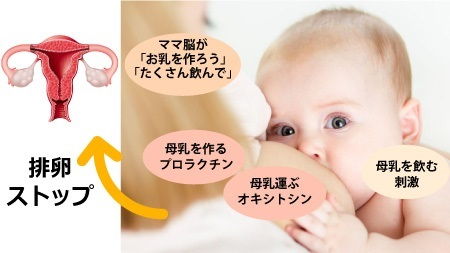 ホルモンと排卵の関係